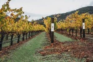 perus vineyard grape rows in napa valley